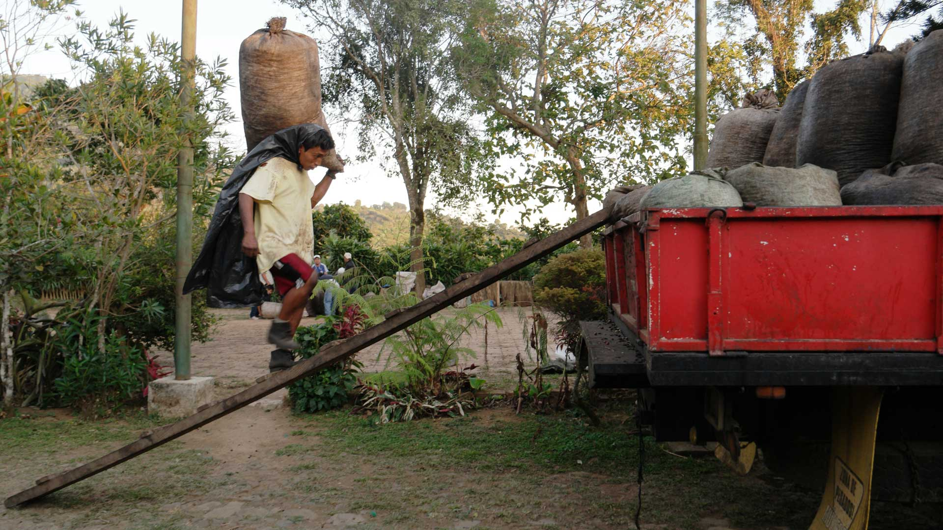 An image of a man loading coffee cherries onto a truck in El Salvador, one source for green coffee Caffe Ladro and Ladro Roasting source for our Wholesale Coffee Roaster