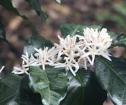 peru coffee flowers caffe ladro