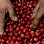 Coffee processing - cherries